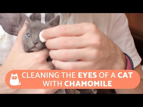 Cleaning The Eyes Of A Cat With Chamomile