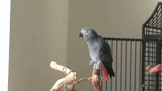 Смотреть онлайн Попугай повторяет мелодию пианино