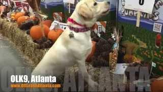 "6 Month Old Labrador Retriever ""Gracie"" Before/After Video   Dog Training Atlanta"