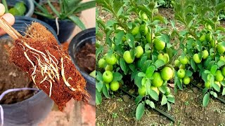 Growing Guava From Cloning Mothers Plant