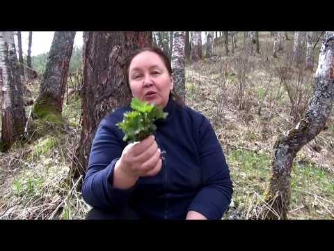 КРАПИВА МАЙСКАЯ || Природный кладезь витаминов