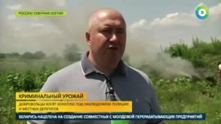 В Северной Осетии скосили два гектара дикой конопли - МИР24