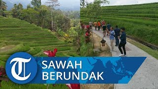 Indahnya Sawah Berundak di Jatiluwih Bali, Obama pun Kepincut