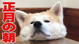 秋田犬正月はのんびり過ごします