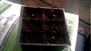 Starting cold crop plants (brussel sprouts and collards) indoors Part 1