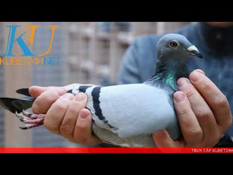 Chim BỒ CÂU bay vào nhà đánh con gì? Điềm lành hay dữ? - KUBET 24H