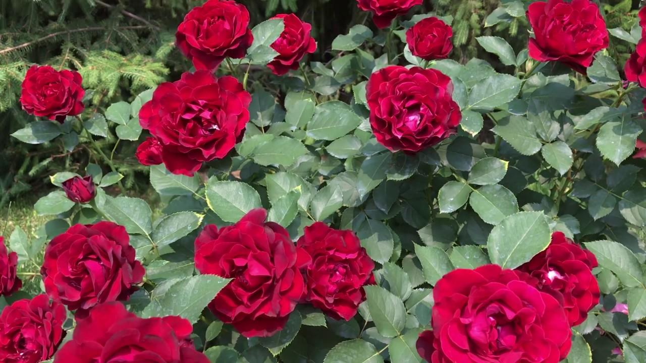 Роза Hommage a Barbara (Омаж а Барбара)