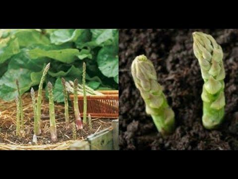 Come coltivare gli asparagi a casa e averne una scorta infinita   Nuova Vita