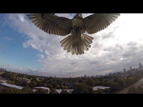 Un faucon attaque un drone en plein vol