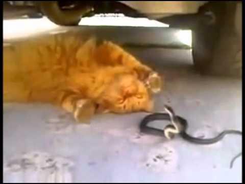 Cuộc chiến mèo và rắn (chết cười vì thằng mèo bựa vl  )