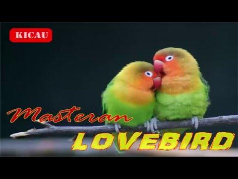 mp4 Lovebird Om Kicau, download Lovebird Om Kicau video klip Lovebird Om Kicau