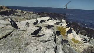 Puffin Loafing Ledge Cam 06-22-2018 11:45:09 - 12:45:10