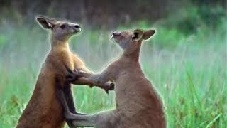 Kangaroo - Male Aggressive Behaviour