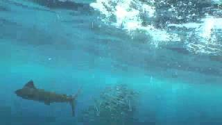 Nuestros Mares - Pez vela