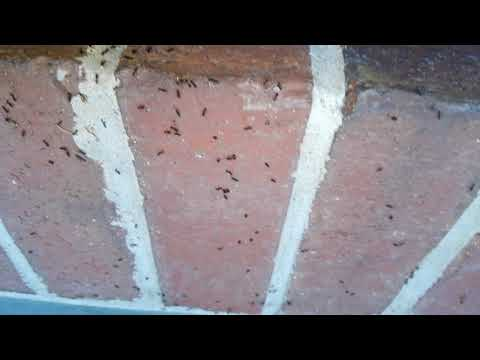 Recently, I was sent to a home in Hazlet, NJ after the homeowners noticed an sharp increase of ant activity inside their home. Although a foraging ant or two may make their way into a home, if there is a consistent barrage of ants inside a home, it means that ants have laid a pheromone trail into your home — and they aren't planning on leaving. During my inspection of the home's exterior perimeter, I was focused on finding the ant trail into the home so I could determine where the ants were coming from. This would allow me to locate the nest and the rest of the colony. Ants establish trails for other ants to follow when foraging for food for the rest of the colony. Ants will eat a wide variety of organic matter, including dead insects and the surgery residue in substances like honeydew that's secreted from aphids. I was persistent in my inspection and was able to find a large satellite colony that they ants had established in a potted plant holder nearby the home. Ants often set up satellite colonies as temporary stations away from the parent colony. After lifting the potted plant out of the planter, I observed a huge colony feeding on plant matter. Once the nest was disturbed, the ants seemed to know that the jig was up. The workers instinctively started to grab the eggs in a last ditch effort to escape. But is was too late! They were caught red-handed and would not be eliminated. I thoroughly treated the inside of the plant holder, the ant trail, and the exterior perimeter of the home. This application will be carried back to the nest and be distributed throughout the colony. For the home's interior, I applied a crack and crevice treatment to the doorways that will keep away any foraging ants.With this indoor-outdoor treatment, the ant colonies will soon be eliminated. The ant troubles of these homeowners are over.