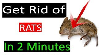 How to get rid of Mouse rats, permanently in a natural way--Get rid of mice fast at home