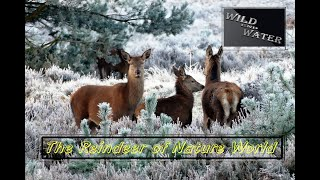 The Reindeer of Nature World