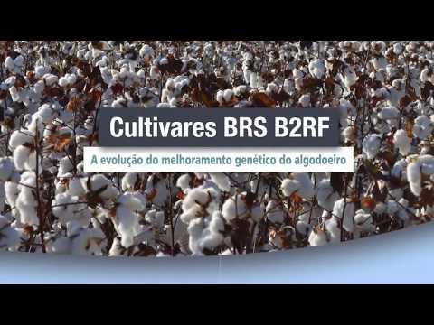Novas cultivares de algodão transgênico BRS B2RF
