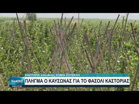 Ο καύσωνας έπληξε τις καλλιέργειες φασολιών στην Καστοριά   15/07/2021   ΕΡΤ