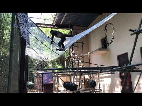 【池田動物園公式】クモザル舎にクライミングネットを設置しました。