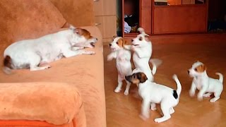 Crazy Jack Russell Terrier With Her Crazy Puppies