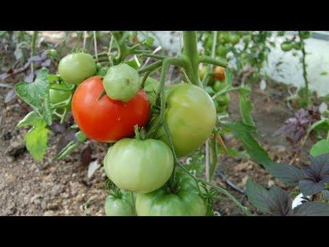 Какие ПОМИДОРЫ буду выращивать в 2019 году, немного о перцах