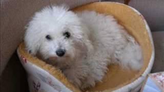 Bolognese bichon(Boloňský psík) kennel Zlínská vločka: Judy Valašské hory 2/2