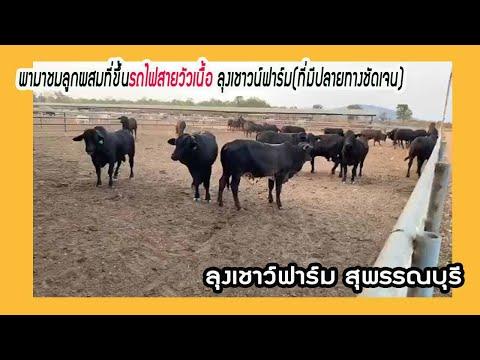 พามาชมลูกผสมที่ขึ้นรถไฟสายวัวเนื้อ ที่มีปลายทางชัดเจน//ลุงเชาว์ฟาร์ม สุพรรณบุรี 0915215332//