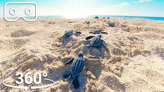 Baby Turtles Hatch And Race To The Ocean | VR 360 | Seven Worlds, One Planet