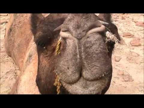 Camel Safari in the Thar Desert near Jai