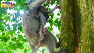 Timo scare cry coz Dee Dee carry claim up tree |Timo afraid hug tree cry call mom |Monkey Daily 1840