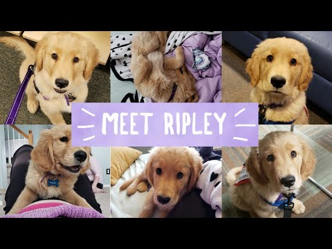 Service Dog Video | #1 | Meet Ripley | My new Puppy | Service Dog in Training