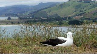 Live Royal Albatross Cam – #RoyalCam – New Zealand Dept. of Conservation | Cornell Lab