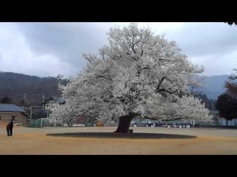 味真野小学校の校庭の一本桜平成26年4月10日