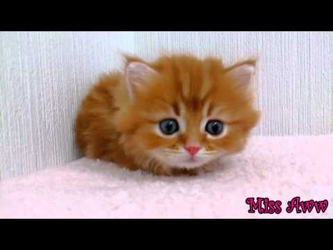 Fluffy Orange Kitten With Blue Eyes | Too Cute!
