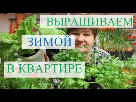 Выращивание зелени зимой в квартире.