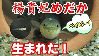 楊貴妃メダカの稚魚 【メダカ水槽#9】