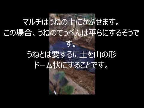 , title : 'さつまいもの植え付け方satumaimo 家庭菜園サツマイモ栽培
