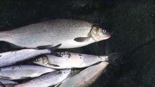 Рыбалка в челябинской рипус сиг