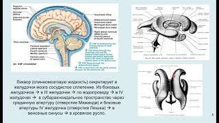 Дубынин В. А. - Мозг: как он устроен и работает - Лекция 2
