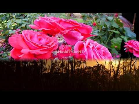 Video Teknik Merawat Tanaman Bunga Mawar Dengan Baik dan Benar