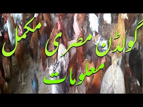 Golden Misri Farming In Pakistan