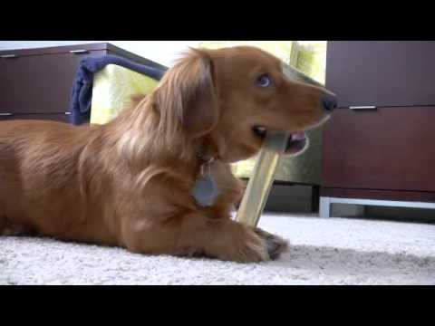 "Nylabone Durable Bacon Flavor Bone - Regular (4.5"") Video"