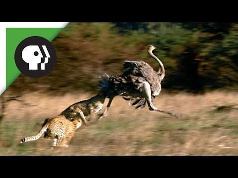 Cheetahs Chasing Ostrich