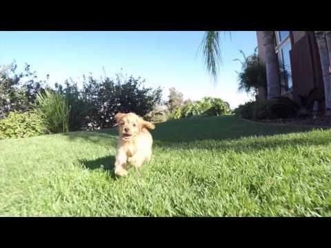 Wendy Red Cavapoo Puppy 4 Sale