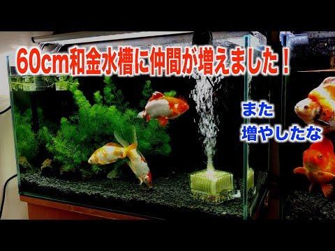 【金魚水槽】60cm和金水槽に仲間が増えました。
