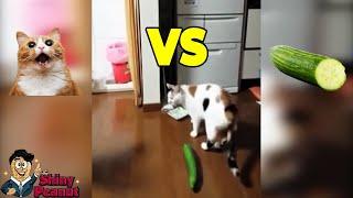 Download Video Kenapa Kucing Takut Sama Timun? Tingkah Kucing yang Bikin Ngakak MP3 3GP MP4