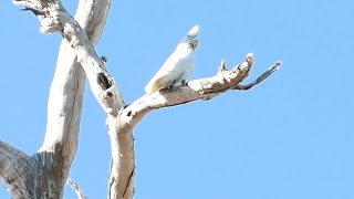 Parrots of Kakadu National Park Australia