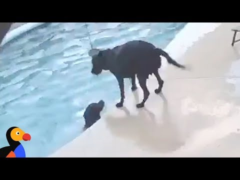 Dog Saves Dog in Pool CAUGHT ON CAMERA | The Dodo