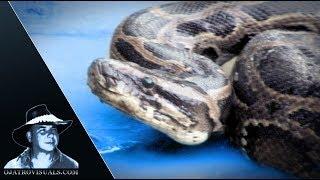 Aggressive Pythons 07 Footage